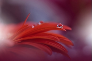 Picture of Red Passion...