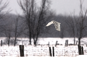 Picture of A snowy Snowy Owl