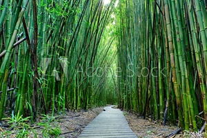 Picture of Bamboo forrest