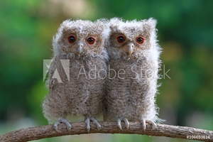 Picture of Two baby owls sitting on branch, Indonesia