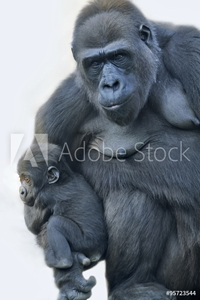 Picture of A gorilla mother with her baby, hanging on her arm.