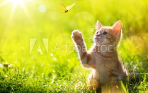 Picture of art Young cat / kitten hunting a ladybug with Back Lit
