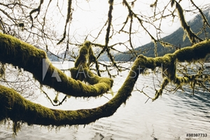 Picture of Moss covered alder tree branches, reaching across the water along the shores of Lake Crescent