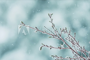Picture of A late spring snow storm on a Coral Bark Japanese Maple tree branch.