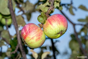 Picture of apples on the branches
