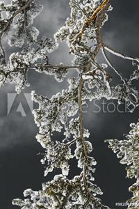 Picture of Snow branch of black pine (Pinus nigra) with dark sky in the background. Snow on a branch is fresh and the sun's rays make it unstable.  Shot near a place called Studenica, south-western Serbia.