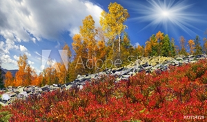Picture of Birch trees on the rocks