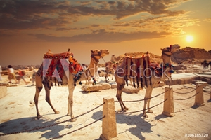 Picture of camel near of great pyramid in egypt
