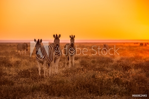 Picture of A herd of Zebra grazing at sunrise in Etosha, Namibia