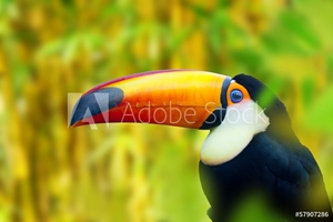 Picture of Colorful Toucan Bird