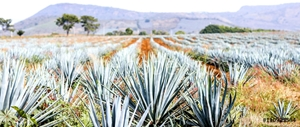 Picture of Agave tequila landscape to Guadalajara, Jalisco, Mexico.