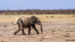 Picture of African bush elephant in Kruger National park, South Africa ; Specie Loxodonta africana family of Elephantidae